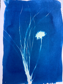 cyanotype dandelion