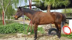 """Socotur Master Horse """"Mo"""""""