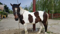 "Socotur Dhexe Horse ""Trig"""