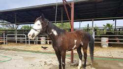 "Socotur Dhexe Horse ""Colton"""