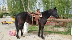 """Socotur Dhexe Horse """"Coquetta"""""""