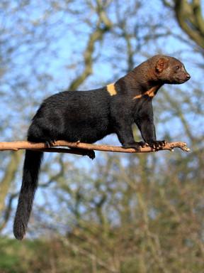 Mustela Africana (tropical weasel)