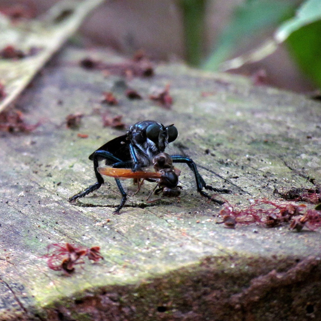 Robber fly, eating a fly smoothie