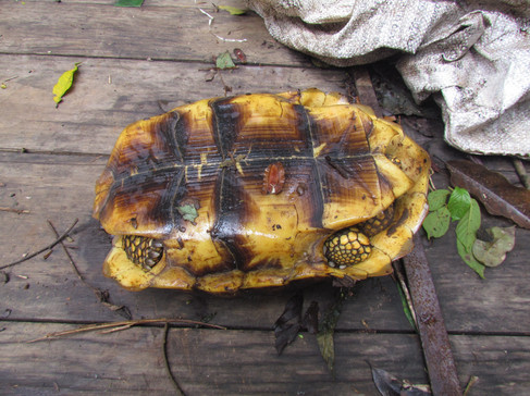 Yellow River Turtle