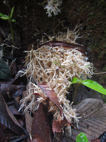 Mycelium fungus