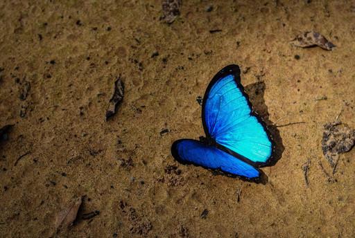 Menelaus Blue Morpho