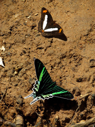 Adelpha cytherea (smooth-banded sister), Eurytides (Kite Swallowtail)