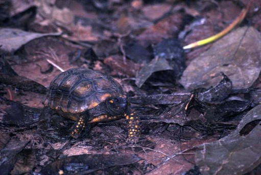 Chelonoidis denticulata (yellow footed tortoise) - an endangered species