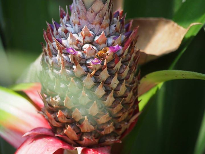 pineapple pollination