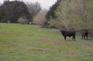 FOUR STEERS IN LANDSCAPE