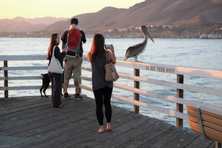 PHOTOGRAPHING THE PELICAN