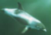 white beak dolphin.png