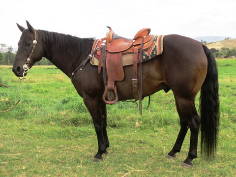 "SOLD 2008 Seal Brown-Black ""All Around"" AQHA Gelding 14.3 hands & 1075 lbs."