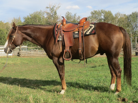 "SOLD 2010 Dark Chestnut ""Handy Package"" AQHA Gelding 14.3 1050 lbs."