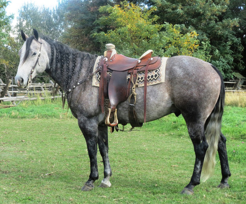 SOLD 2012 Steel Dapple Gray, AQHA Gelding 15.1 hands, 1200 lbs.