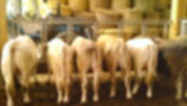 viande aubrac bio collectivité particulier vente à la ferme