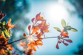 Orangenblüte