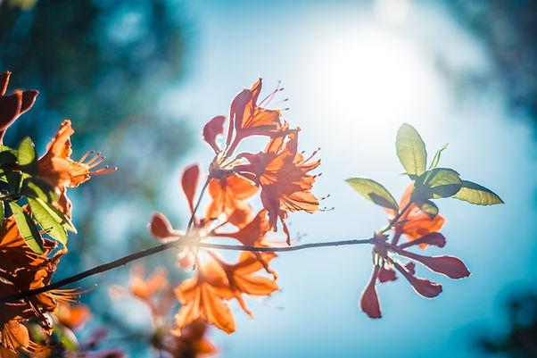 flores de laranjeira