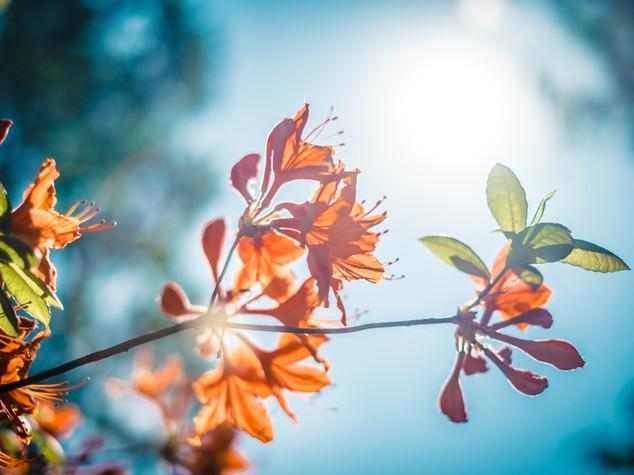 Oranje bloesem