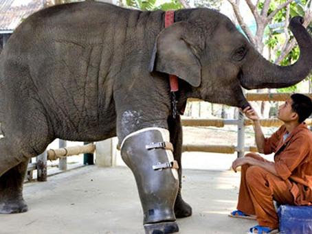 Elefanta perde pata em mina terrestre e ganha prótese