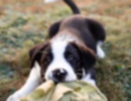 Gryphon-Puppy.jpg