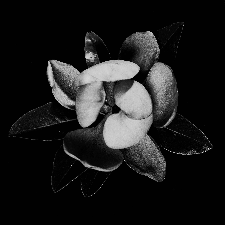 Magnolia grndiflora