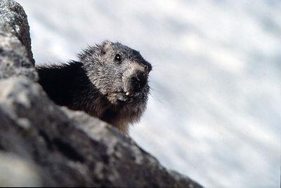 Découverte marmotte