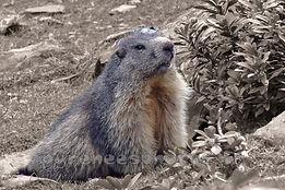 Randonnée marmotte