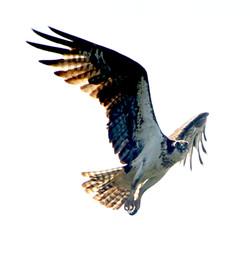 Osprey, Burley Creek 1564031