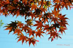 Maple Leaves 13706587