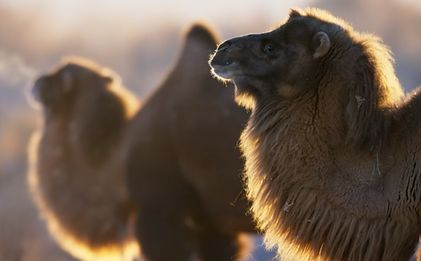 Wild Camels closeup 07.png