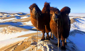 Camels in snow.png