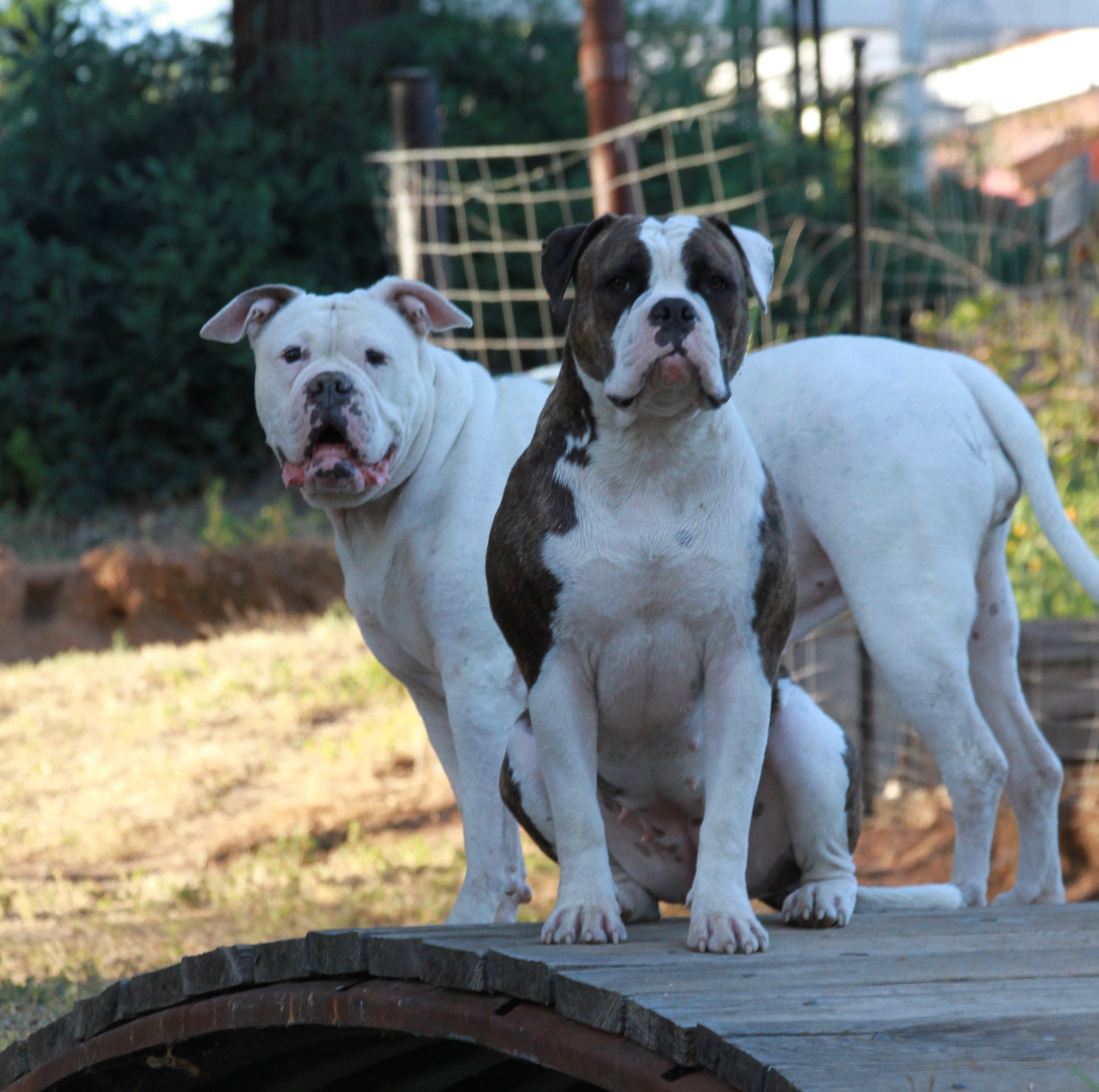 American Bulldogs Johnson Breed Goldenacresdogs Com