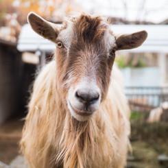 Meet a Goat