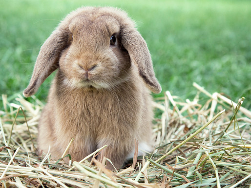 Featured resident: Yoko the rabbit