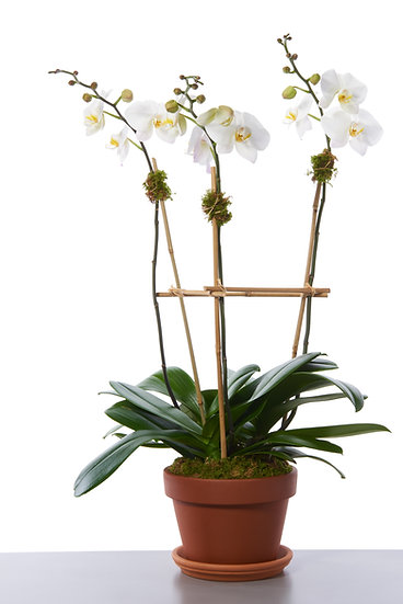 Orchid Plant–Three Stems
