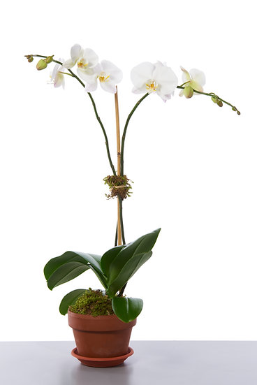 Orchid Plant–Two Stems