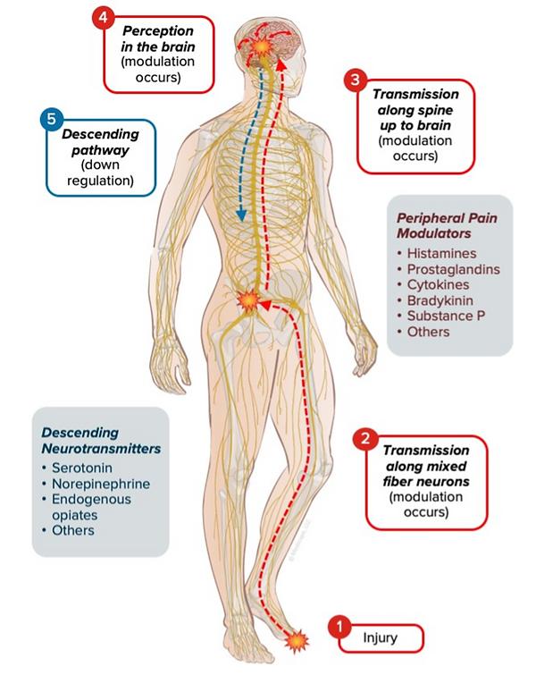 neuromechanisms of pain.png