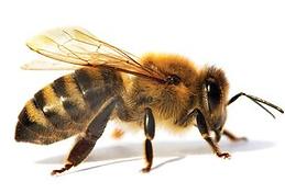bee wasp honey 1.png