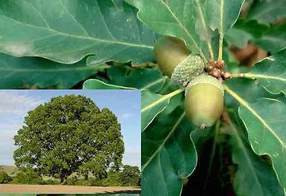 oak 2.jpg