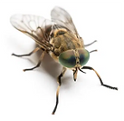 horsefly 1.png