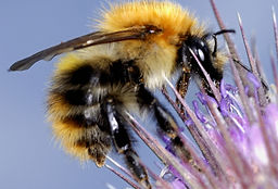 bee wasp - common carder bumblebee.jpg
