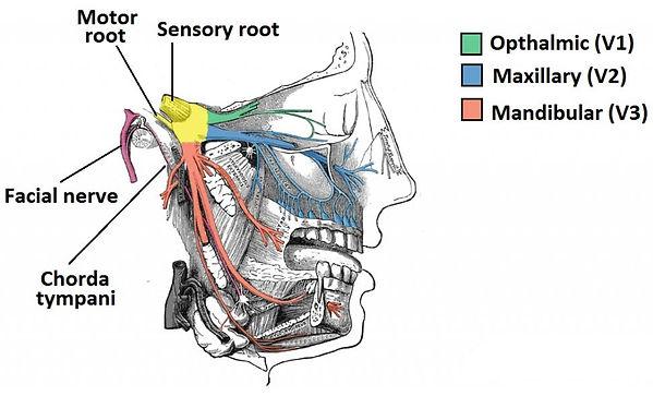 trigeminal nerve 1.jpg