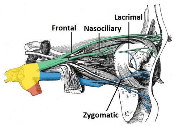 trigeminal nerve 2.jpg