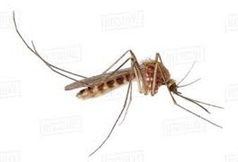 mosquito 1.jpg