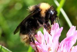 bee wasp field cuckoo bumblebee.jpg