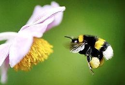 bee wasp white tailed bumblebee.jpg
