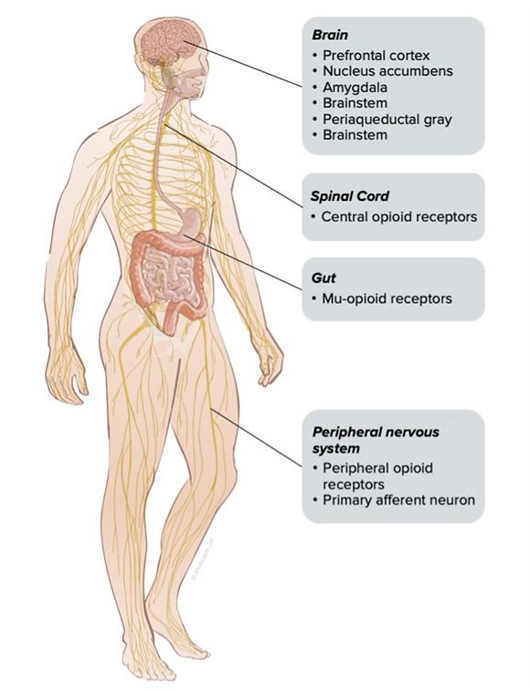 opioid receptor locations.png