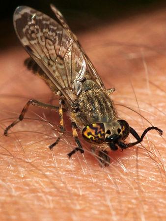 horsefly 7.jpg