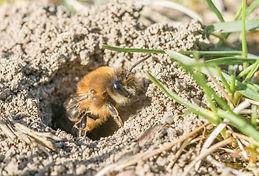bee wasp mining bee.jpg
